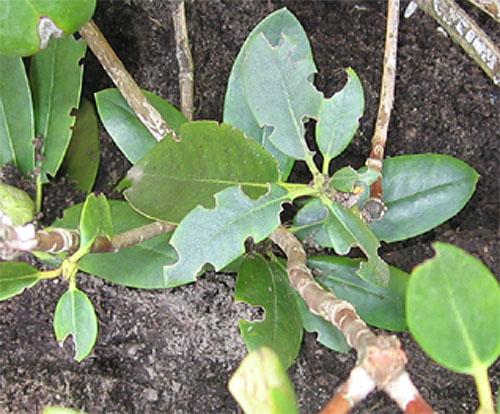 Rhododendron und azaleen rhododendron pflanzen pflegen for Gartengestaltung rhododendron
