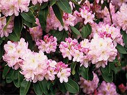 Gesunder rhododendron sortenwahl pflanzung pflege for Gartengestaltung rhododendron