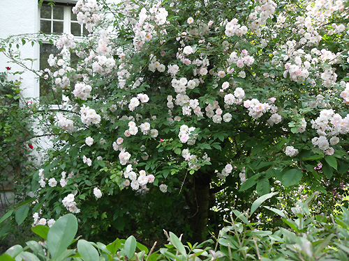 gesunde rosen: sortenwahl, pflanzung, rosenpflege | arkadia, Garten ideen